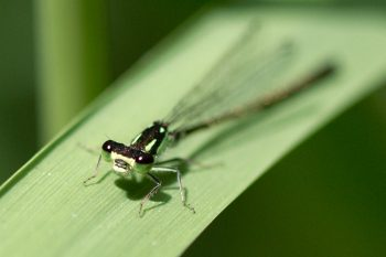 Tiny Green Damselfly