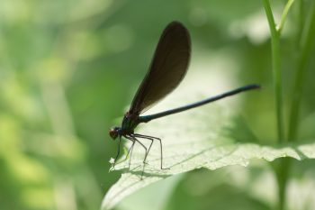 Male Ebony Jewelwing