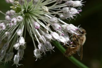 Honey Bee on Wild Onion