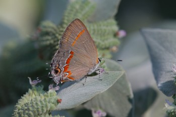 Calycopis cecrops (Red-banded Hairstreak)