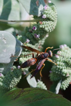 Polistes fuscatus (Northern Paper Wasp)