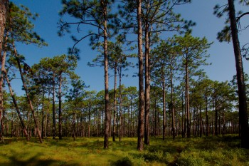 Long-leaf Pine Savanna
