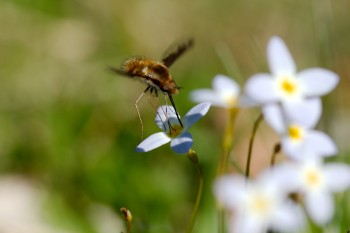 Bee Fly on Bluet