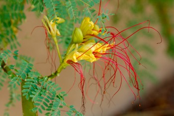 Caesalpinia gilliesii (Yellow Bird of Paradise)