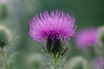 Thistle (and Friend)