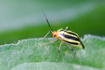 Poecilocapsus lineatus (Four-lined Plant Bug)