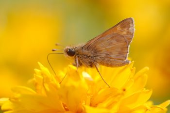 Skipper on Coreopsis