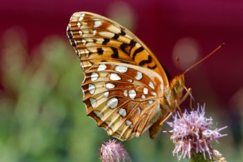 Speyeria cybele cybele (Great Spangled Fritillary)