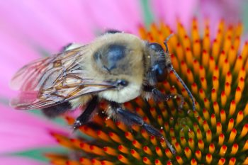 Common Eastern Bumblebee (Bombus impatiens) on Purple Coneflower (Echinacea purpurea).
