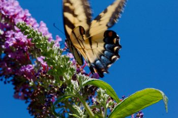 Tiger Swallowtail (<em>Papilio glaucus</em>) on Buddleia