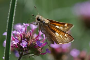 Skipper on <em>Verbena bonariensis</em>