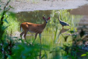 Deer and Heron