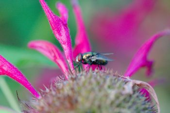 Blow Fly on Monarda