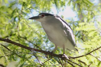 Black-crowned Night-Heron (<em>Nycticorax nycticorax</em>)