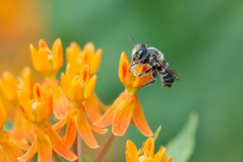 Bee on Asclepias