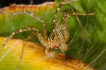 Grass Spider (Agelenopsis species)