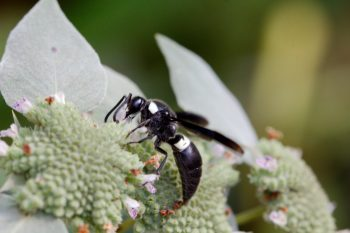 Monobia quadridens (Four-toothed Mason Wasp)