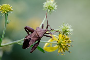 Piezogaster Species (Leaf-footed Bug)