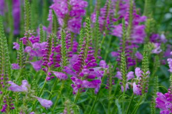 Physostegia virginiana
