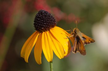 Skipper on Rudbekia