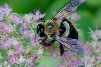 Carpenter Bee on Stonecrop