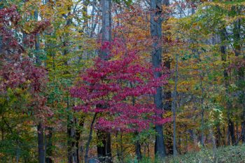 Fall Color In The Woods
