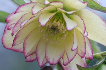 Double Lenten Rose