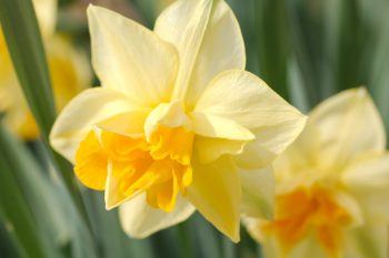 Another Daffodil