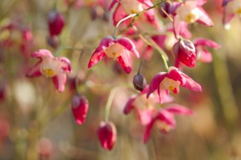 Epimedium × rubrum (Bishop's Hat)