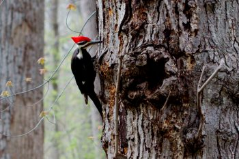 Dryocopus pileatus (Pileated Woodpecker)