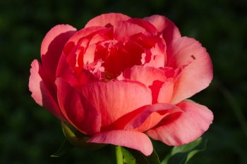 Peony 'Coral Sunset'