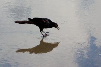Grackle Eating a Clam