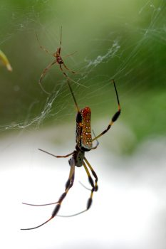 Nephila clavipes (Golden Silk Orbweaver)