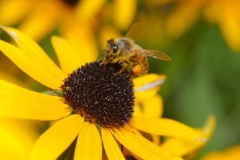 Honey Bee on Rudbekia Flower