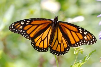 Monarch (<em>Danaus plexippus</em>)