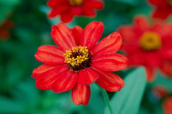 Deep Orange Zinnia