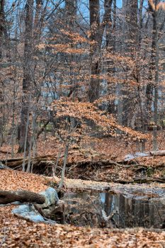 Beech Woods and Stream