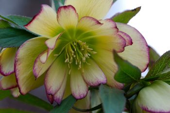Lenten Rose 'Rose Quartz'