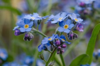 Myosotis sylvatica (Woodland Forget-me-not)