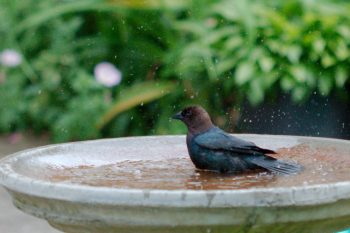 <em>Molothrus ater</em> (Brown-headed Cowbird)