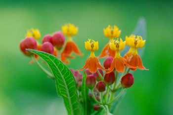 <em>Asclepias curassavica</em> Orange