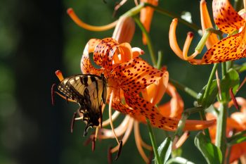 Tiger Swallowtail and Tiger Lily
