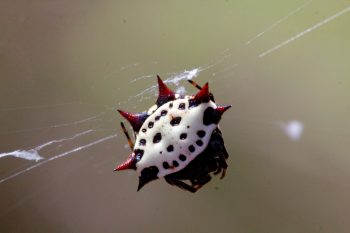 Gasteracantha cancriformis (Spinybacked Orbweaver)