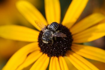 Megachile mendica (Flat-tailed Leaf-cutter Bee)