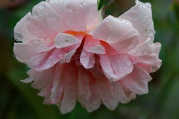 Rose 'Perle d'Or' In The Rain