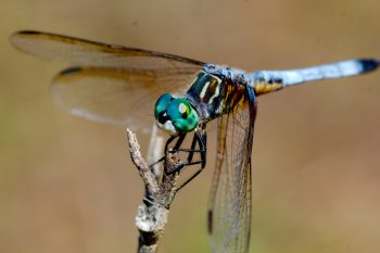 Pachydiplax longipennis (Blue Dasher)