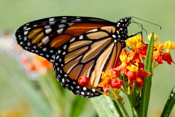 Danaus plexippus (Monarch)
