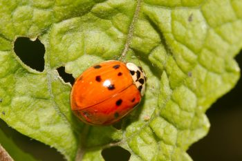 Harmonia axyridis (Asian Lady Beetle)