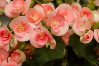 Winter-flowering Begonia