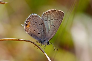 Cupido comyntas (Eastern Tailed-Blue)